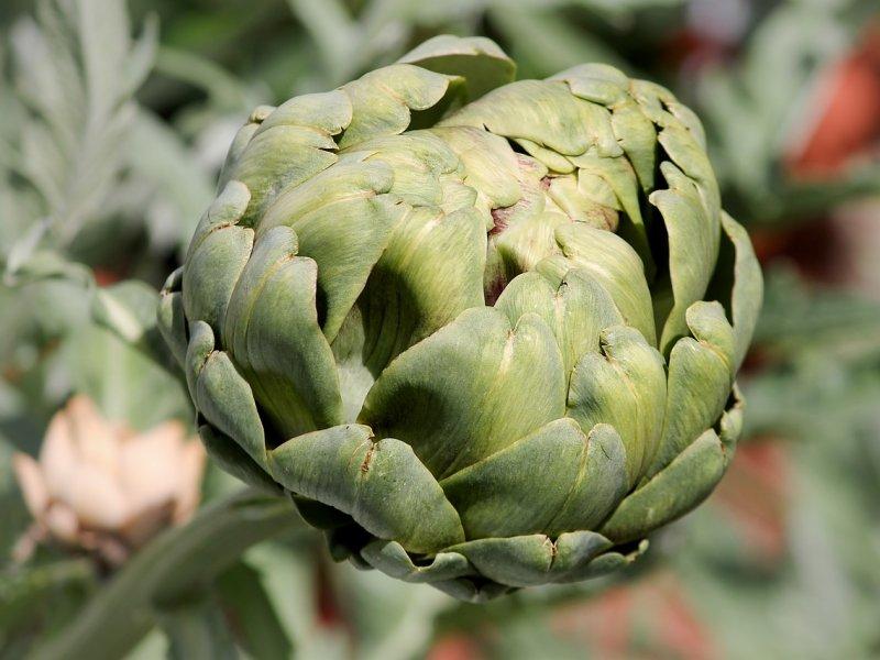 artičoka biljka