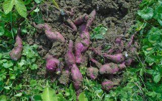 slatki krompir biljka