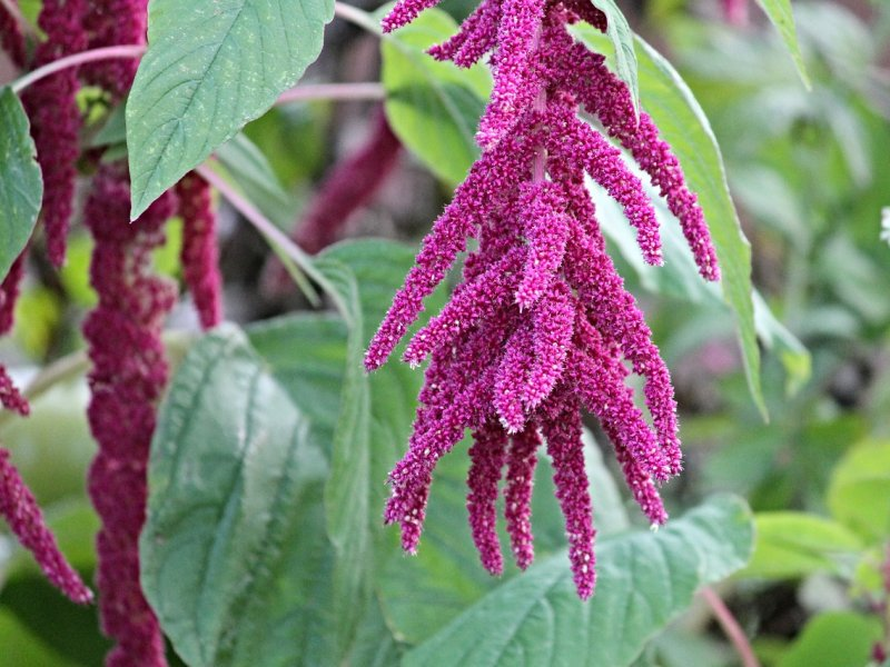 amarant biljka