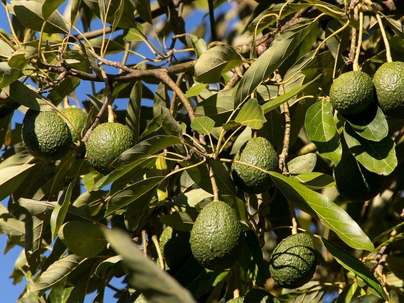avokado biljka