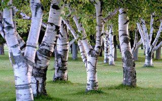 breza biljka