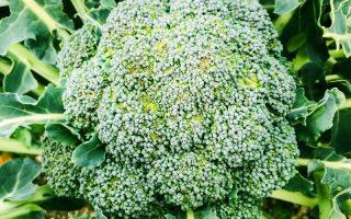 brokula biljka