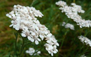 hajdučka trava biljka