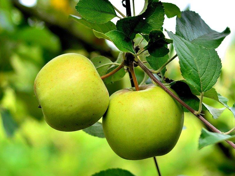 jabuka biljka