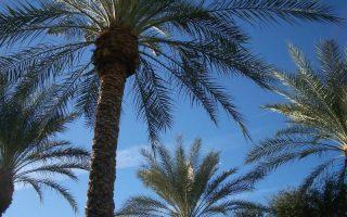 kanarska palma biljka
