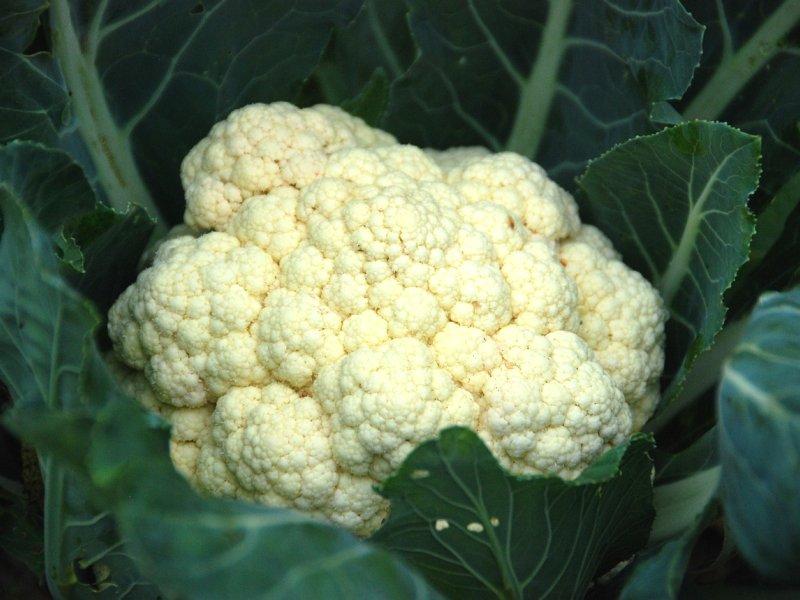 karfiol biljka