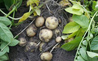 krompir biljka