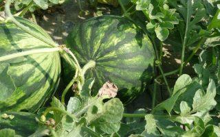 lubenica biljka