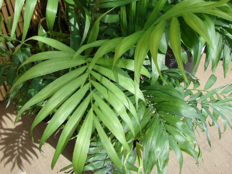 palma sreće biljka
