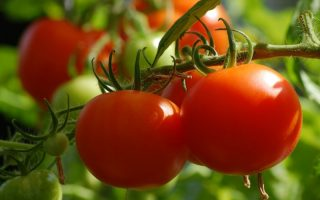 paradajz biljka