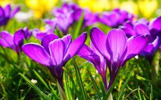 prolećni šafran biljka