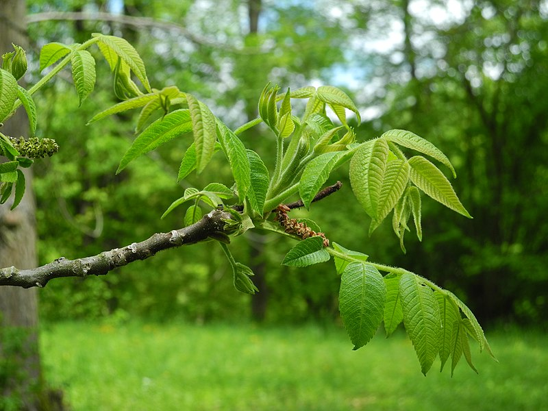 sivi orah biljka