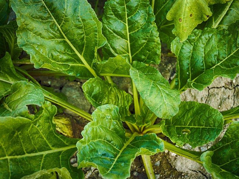 spanać biljka