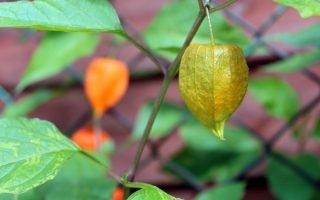 tomatiljo biljka